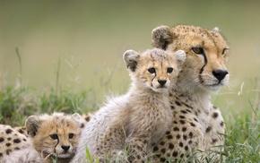 baby animals, cheetahs, animals