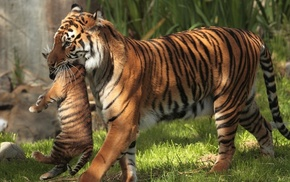 baby animals, animals, tiger