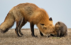 animals, baby animals, fox