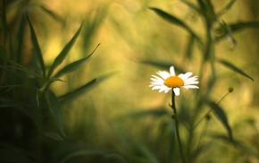 flowers, depth of field, nature, daisies, Chamomile, plants