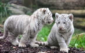 animals, tiger, baby animals, white tigers