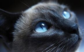 cat, animals, Siamese cats, blue eyes