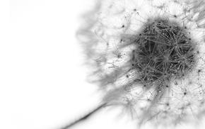 dew, dandelion, monochrome