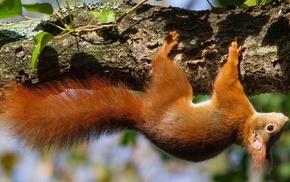 squirrel, animals, nature