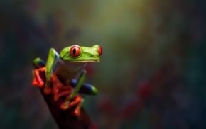 amphibian, animals, Red, Eyed Tree Frogs, frog