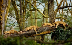 trees, lion, sleeping, animals, nature, Africa