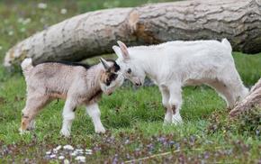 baby animals, nature, goats, animals