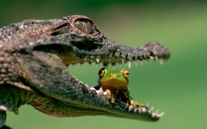 depth of field, amphibian, muzzles, eyes, reptile, frog