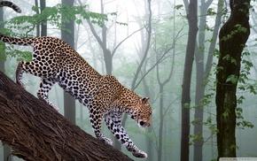 leopard, animals, nature