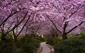 path, trees, cherry blossom, nature, flowers