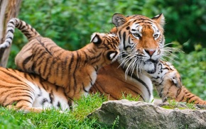 tiger, animals, baby animals, nature