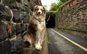 Australian Shepherd, road, dog, animals, tunnel