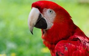 nature, animals, birds, parrot, macaws, closeup