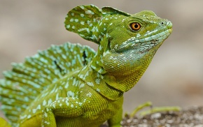 animals, lizards, nature