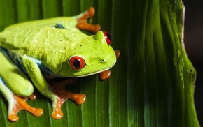 frog, animals, macro, Red, Eyed Tree Frogs, amphibian