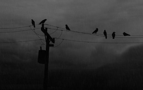 birds, utility pole, raven