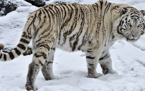 snow, white tigers, white, animals