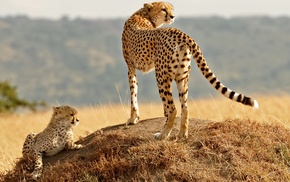 animals, baby animals, nature, cheetahs