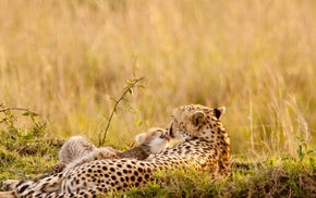 cheetahs, nature, animals, baby animals, wildlife