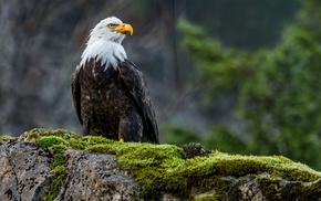 wildlife, birds, moss, animals, eagle, bald eagle