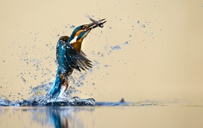 birds, nature, kingfisher, wildlife, animals, fishing