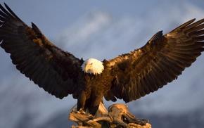 bald eagle, birds, eagle, animals, wildlife, nature