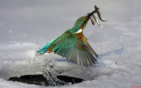 birds, animals, nature, kingfisher, fishing, wildlife