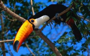 birds, nature, toucans, wildlife, animals