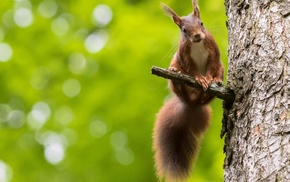 animals, squirrel, bokeh, nature
