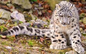 snow leopards, animals, landscape, nature