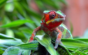 reptile, chameleons, nature, animals, wildlife