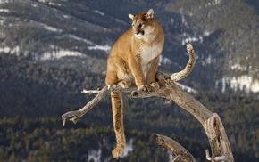 pumas, nature, animals