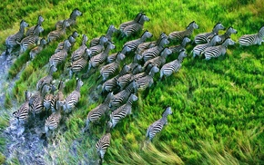 zebras, landscape, animals, HDR, nature