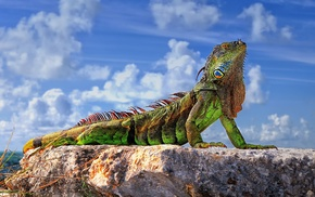animals, iguana, reptile, nature, wildlife