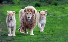 animals, lion, nature