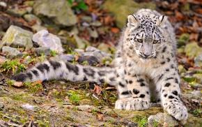 animals, nature, snow leopards