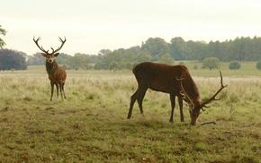 animals, nature, deer, elk