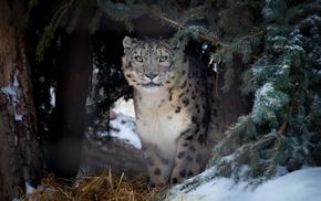 snow leopards, animals, nature