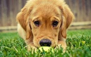 grass, dog, animals, puppies