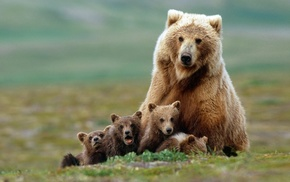 baby animals, Grizzly Bears, nature, grass, field, depth of field