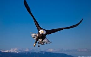 eagle, wildlife, bald eagle, animals, birds, landscape