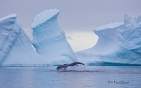 whale, nature, ice, iceberg, animals, landscape