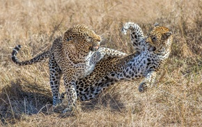 nature, leopard, animals