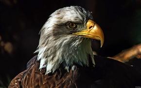 eagle, birds, bald eagle, nature, animals, wildlife