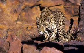 nature, animals, wildlife, leopard