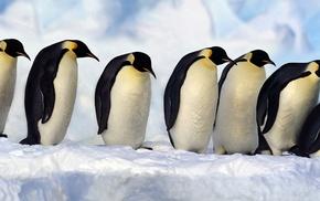 birds, penguins, animals, wildlife, nature