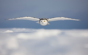 birds, wildlife, owl, animals, nature