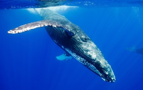 animals, underwater, wildlife, whale, nature