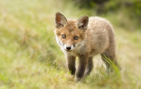 baby animals, animals, fox