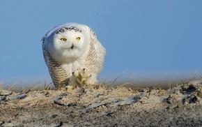 owl, animals, nature, birds